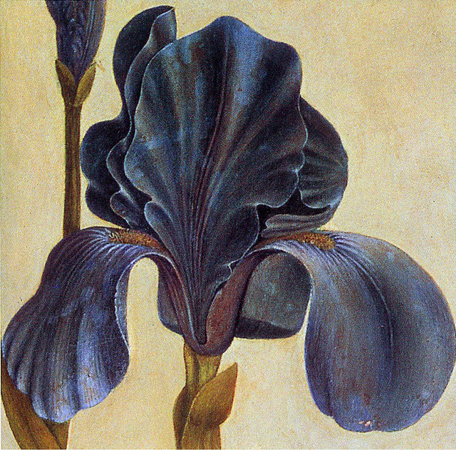 Albrecht Dürer 'Troiana Iris' (Detail) by Plum leaves on Flickr.  Via Flickr: Albrecht Dürer [German painter, printmaker, engraver, mathematician, and theorist, 1471 – 1528]  Biography: en.wikipedia.org/wiki/Albrecht_D%C3%BCrer ___ Slight restoration by plumleaves