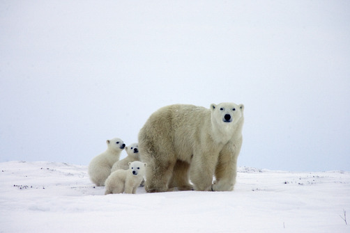 Polar Bear trio of three month old cubs following mother by MATTHIAS BREITER/ MINDEN PICTURES