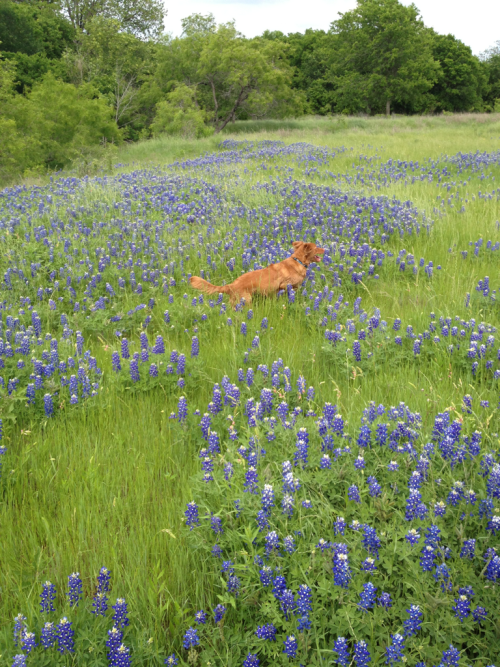 In a sea of bluebonnets!  Oh how I love Texas in the spring! This shot was taken at Daddy's farm. Lots of room to run and swim there.