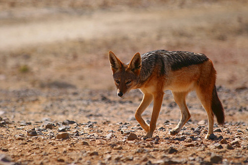 animals-animals-animals:  Black-backed Jackal (by Scott MacLeod Liddle)  I love their ears <3