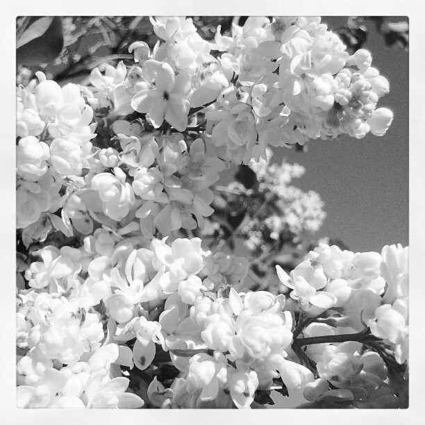 #Spring #Blossoms #BackYard #home #macro #Instagram #Instamood #eavig #Instanation #Minnesota #blkandwht (Taken with Instagram at Lancer Village)