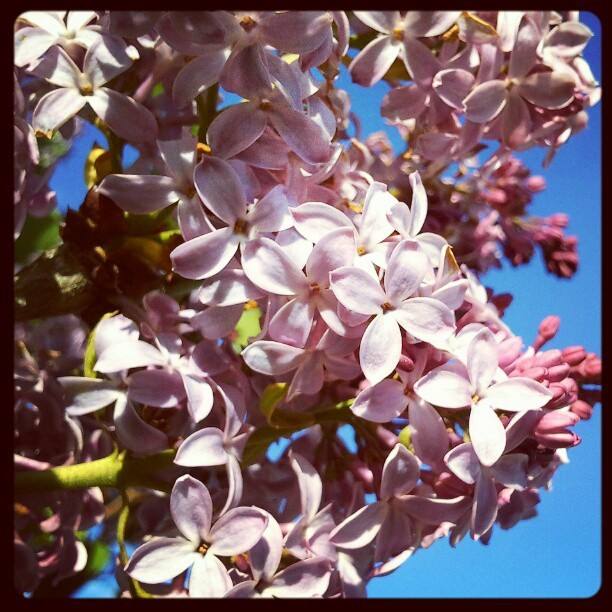 #Spring #Blossoms #BackYard #home #macro #Instagram #Instamood #eavig #Instanation #Minnesota #Lilacs  (Taken with Instagram at Lancer Village)