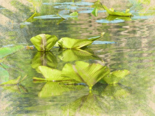Silken lilypads - created from a photo an iPad app called Painterly