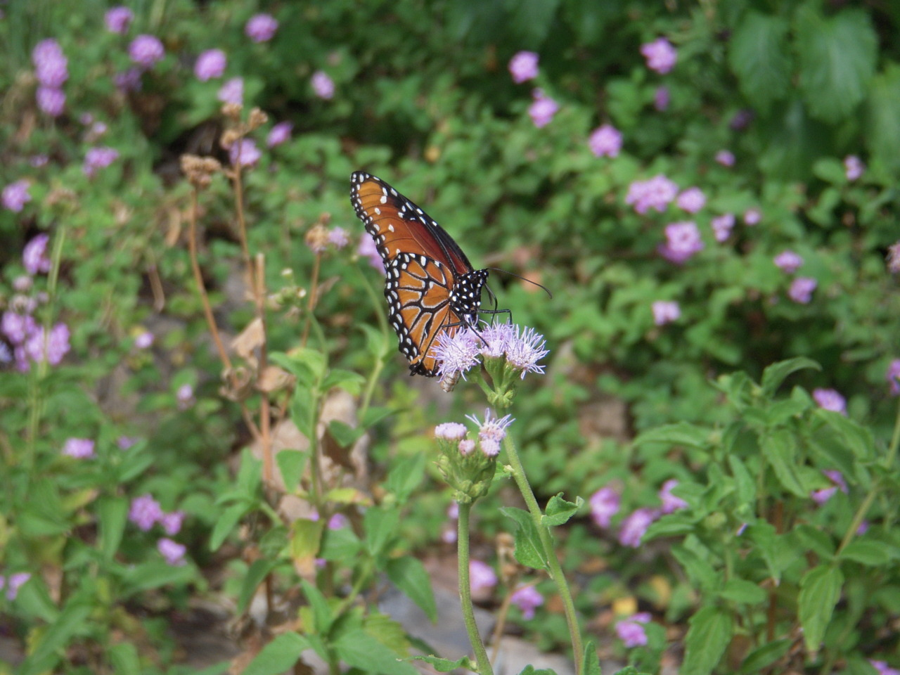 A Queen butterfly (Danaus gilippus) I saw at the Desert Museum. Or at least I think it's a Queen, I could be very wrong.