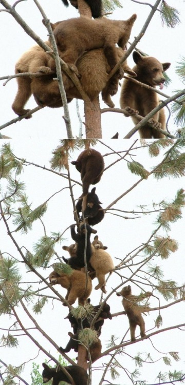 Baby bears in a tree