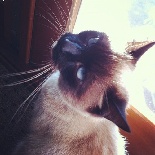 Hello Bailey! #Siamese #blueeyes #princess (Taken with instagram)