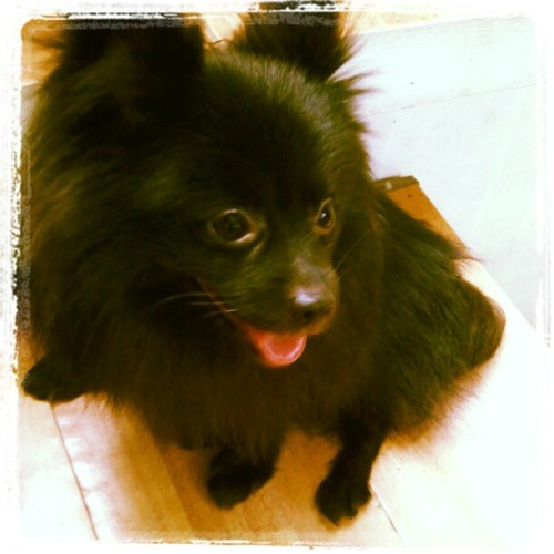 #Pomeranian #igersmanila #instagood #implus #shotoftheday #iphonography (Taken with Instagram at Tangerine St.)