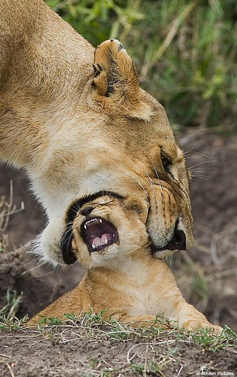 llbwwb:  Gentle Mama!! by Minden pictures