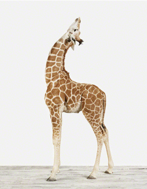 liguid:  giraffes are amazing