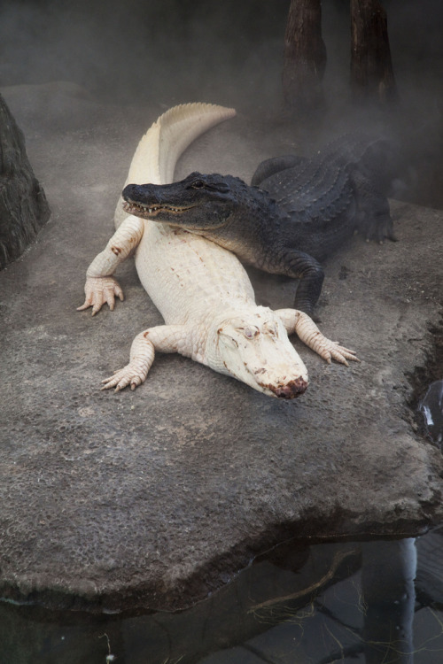 deification:  Black & white alligators.