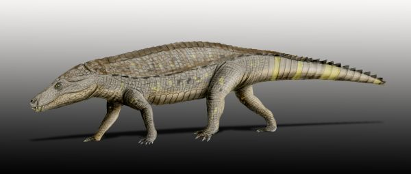 "scientificillustration:  ""Armadillosuchus is an extinct genus of sphagesaurid crocodylomorph. It was described in February 2009 from the Late Cretaceous Bauru Basin of Brazil. Sphagesaurids share a number of mammal-like features in their teeth and jaws, although they are unrelated to mammals. Armadillosuchus is especially mammal-like in that it had heavy body armor characterized by flexible bands and rigid shields that covered its back, less like the traditional osteoderms that line the backs of most crurotarsans and more like that of a modern armadillo (hence the genus name meaning ""armadillo crocodile""). Because of its unique morphology, it is believed to have had a terrestrial and quite possibly fossorial lifestyle."" Marinho, Thiago S.; and Carvalho, Ismar S. (2009). ""An armadillo-like sphagesaurid crocodyliform from the Late Cretaceous of Brazil"". Journal of South American Earth Sciences 27 (1): 36–41. doi:10.1016/j.jsames.2008.11.005. Some more images from: 'Armadillosuchus: One bad crocodyliform'  Armadillosuchus. The head is to the left, followed by the cervical shield and mobile-banded body armor.  The partial upper and lower jaws of Armadillosuchus.  And a photo from National Geographic News:"