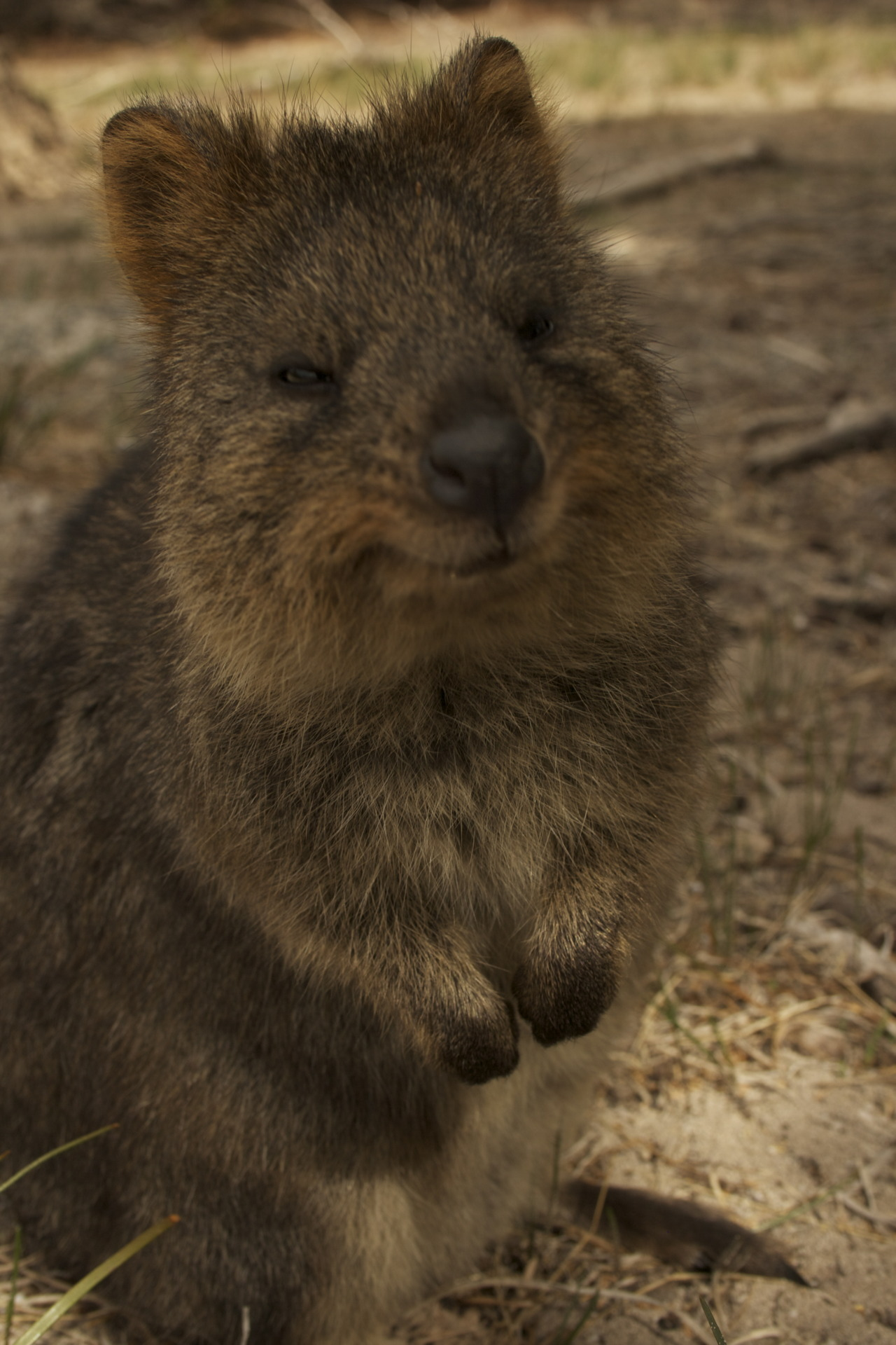 replacebatterypack:  Quokka (a marsupial native to islands off the coast of Western Australia)