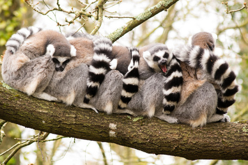 cliffordphotography:  Lemurs on Flickr.