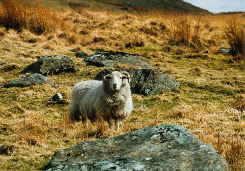 "Ram-a Lama Ding Dong on Flickr.Via Flickr: Snowdon Expedition 1996, Wales. After getting lost trying to find the tail leading to the mountain top a local ram encounter made us change course (none shall pass and such) and ultimately we found the trail (dangerous as it was and frozen and icy). When we reached the top, freezing, sweating and cold as mutton chops on ice, we saw that there was a tram going up all the way to the top from the other side of the ""mountain"" (yes it's just about one with 1085m). Did we look sheepish… but even more so when that woman got off the tram in her dress and high heels, took 3 steps and almost fell off the hi.. err mountain. High heels and mountain tops make for much better stories than rams at the bottom, eh? This is a scan of a Kodak slide from 1996 taken with a Canon EOS 450D and a crappy kit lens. I'll be posting a few more scans of film shots I did back then in the ""old"" days.artflakes • google+ • twitter • facebook •  tumblr  •  500px •  blog All Rights Reserved, no reproduction without prior permission. © Alexander Ipfelkofer"