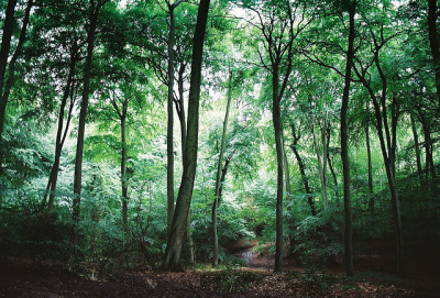 laughingfits:  Tall tall beeches by beardymonsta on Flickr.