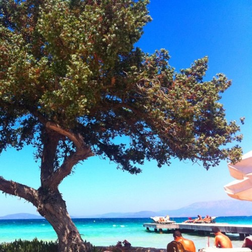 Mastic tree in Çeşme, Turkey