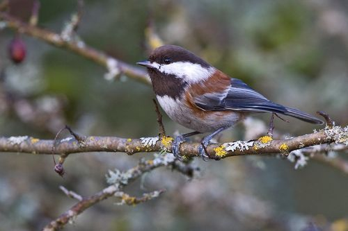 prettybirds:  Chestnut-Backed Chickadee