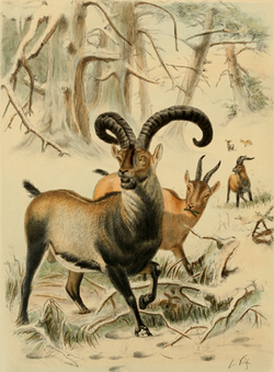 "The Pyrenean Ibex (Capra pyrenaica pyrenaica) is an ibex, one of the two subspecies of Spanish Ibex, extinct since January 2000. The subspecies once ranged across the Pyrenees in France and Spain and the surrounding area, including the Basque Country, Navarre, north Aragon and north Catalonia. The last natural Pyrenean Ibex, a female named Celia, was found dead on January 6, 2000, next to a falling tree. Although her cause of death is known, the reason for the extinction of the subspecies as a whole is a mystery. Some hypotheses include the inability to compete with other species for food, infections and diseases, and poaching. The Pyrenean Ibex became the first taxon ever to become ""un-extinct"", for a period of seven minutes in January 2009, when a cloned female Ibex was born alive and survived a short time, before dying from lung defects."