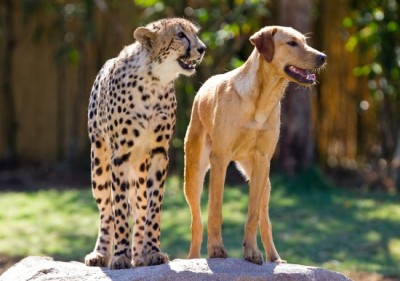 Busch Gardens - Cheetah & Dog Friends It may seem like an unlikely pair, but its been a year since Busch Gardens Tampa park guests got to see an 8-week-old male cheetah cub and 16-week-old female yellow labrador puppy play together. They were first snapped for the blogging world to see last April when I published the adorable pics on this very blog, and after a year Busch's animal experts are expecting their friendship to last a lifetime. The pair, who were later named Kasi (cheetah) and Mtani (dog), spent only supervised play times together at first. Now, a year later, they live together full time at the park's Cheetah Run habitat and even travel together to schools, events and more as animal ambassadors. Park guests can see Kasi and Mtani daily at Cheetah Run, where they spend a portion of each day playing together and training. It is not really related to coasters or general theme park news, but it is stupidly adorable and amazing, so enjoy the snap!