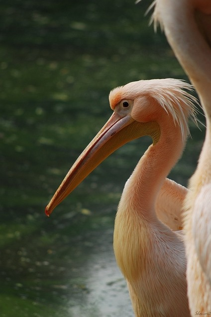 fyeah-seacreatures:  Rosy Pelican. By: Shoumit You guys, I love Pelicans. They're one of my favorite sea birds.