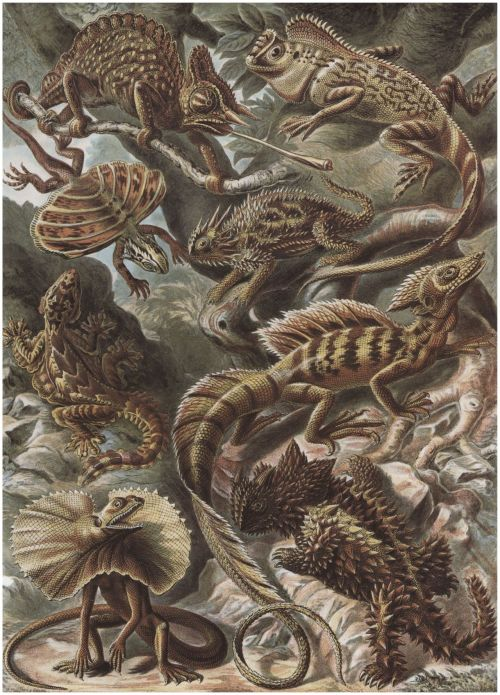 portailblog:  Ernst Haeckel : Planche  79, Lacertilia. Lézards (Source : Deutschland), 1904.
