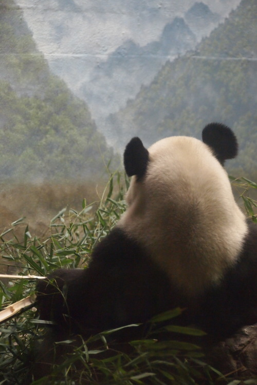 mightandwonder:  The Panda King watches over his forest kingdom.