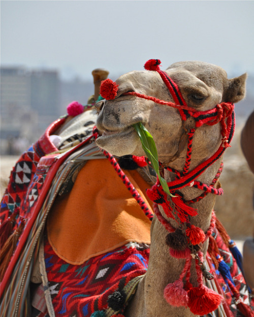 worldlyanimals:  Camel Snack by Mondmann on Flickr.