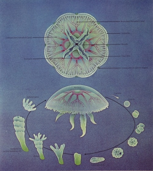 bluecohosh:  jellyfish life cycle