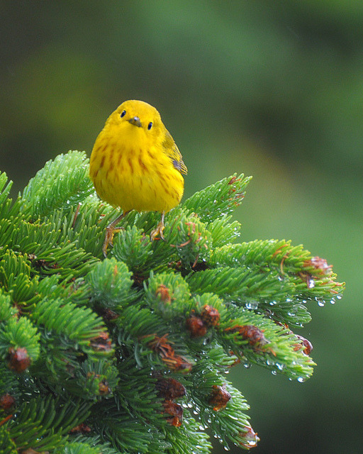 fairy-wren:  yellow warbler (photo by clyde barett)