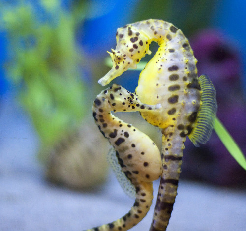 animalgazing:  Seahorse Couple by San Diego Shooter on Flickr.