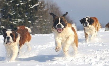 Bounding St. Bernards hahahaha, so cute!