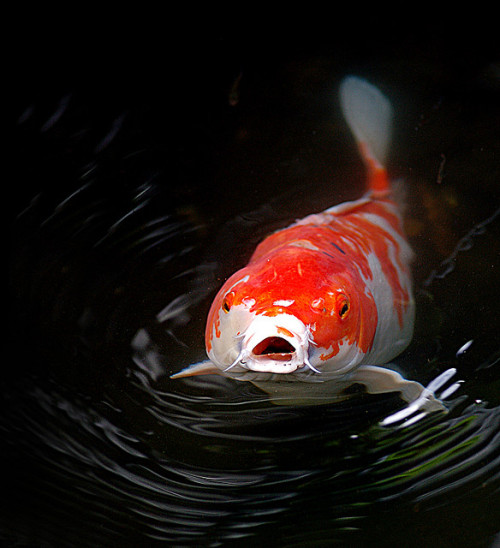 kingdom-of-animals:  Koi Says Hi by BBMaui on Flickr.