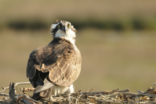 Ospreys are back!