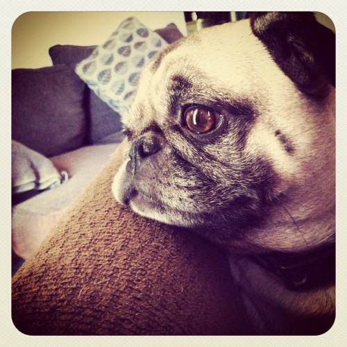 Meet Daisy! Please follow @benjustice ! #pugs #pug #pugsofinstagram  (Taken with instagram)