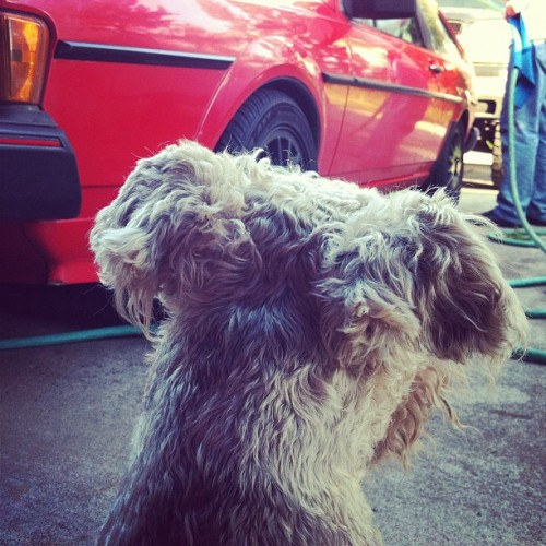 Supervisor. #volkswagen #scirocco #rocco #wirefox #terrier #vw #dog #puppy #car #cute (Taken with instagram)