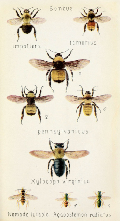 velveteenrabbit:  cargohoo:  muirgilsdream:  Bee types.  (For Jess)  (myfavoriteanimalisbees.) <3
