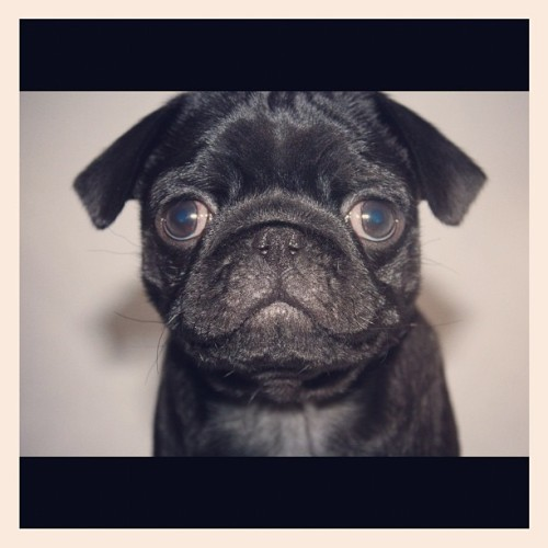 Say hello to sweet Oscar ! Please follow @ellz_97 ! #pugsofinstagram #pugs #pug #blackpug (Taken with instagram)