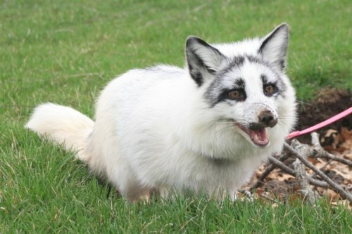 oceanmaster:  fuckyeahlokispenis:  Marble Foxes Are So Damn Cute, Omg.  BABY  OH gosh that is adorable 8D