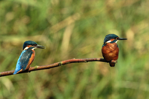 animals-animals-animals:  Kingfisher (by wild lens)