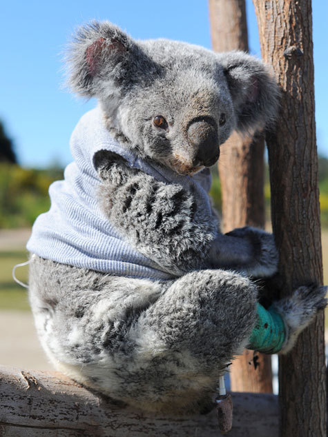 magicalnaturetour:  Injured Koala Wears Sweater and is Adorable via Geekosystem :)