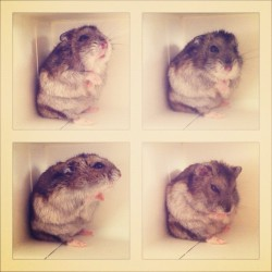 forestsandtrees:  #hamster Muji is so curious about the box! 😜 (Taken with instagram)