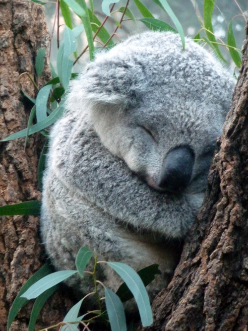 Koala getting some rest