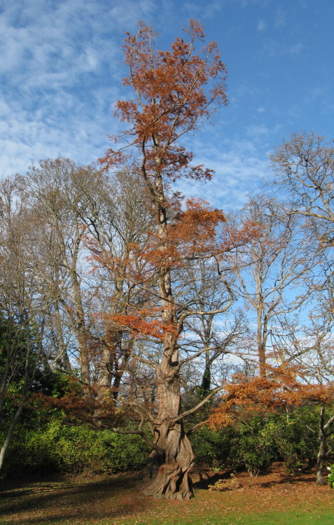 Living Fossils - Metasequoia Metasequoia, or, more commonly, the dawn red wood, and more specifically M. glyptostroboides is one of three species of that we call redwoods, the other two being Sequoia sempervirens (Coast Redwood) and Sequoiadendron giganteum (Giant Sequoia). They are all members of Sequoioideae, which is a subfamily within Cupressacae, which are, more or less, the Cyprus family. Metasequoia are deciduous trees, but are still, coniferous. There is one extant species of Metasequioa, and three recognized fossil species, all found in the northern hemisphere, and the living species being native to China. The fossils in question are all found around the 80N latitude line, which would have been tropical or sub-tropical at the time (Paleocene and Eocene), and it is thought that it was already deciduous at this time, and therefore that being deciduous developed not because of seasonal variance in temperature, but instead because of light variance. It was thought to be extinct, before the discovery of an extant specimen in a shrine in China. It has recently become a popular ornamental plant. Photo: By User:Substatique (English Wikipedia) [CC-BY-SA-3.0 (www.creativecommons.org/licenses/by-sa/3.0)], via Wikimedia Commons