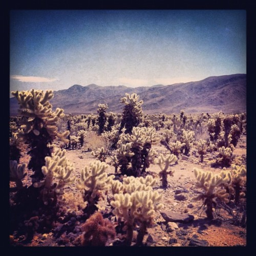 dustdb:  Cholla Garden, Joshua Tree (Taken with instagram)