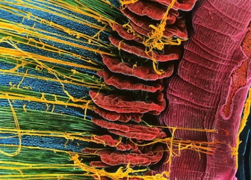 Human Eye -Iris  Iris of the eye. Coloured scanning electron micrograph (SEM) of the inner surfaces of the iris and adjoining structures in the human eye. At far right (blue) is the edge of the pupil, the hole that allows light into the eye. Coloured mauve is the iris which controls the size of the pupil and therefore how much light will enter. The band of folds down the centre (red) are the ciliary processes. These secrete fluids that nourish neighbouring parts of the eye. (STEVE GSCHMEISSNER/SCIENCE PHOTO LIBRARY)