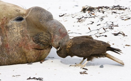 theanimalblog:  A Southern elephant seal bull has its nose picked by a Striated Caracara bird of prey on Sea Lion Island in the Falklands, feeding on parasites. Picture: Dickie Duckett/FLPA/Solent News & Photo Agency
