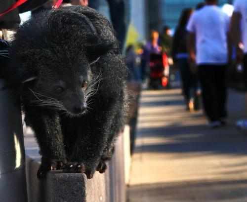 Lucy the Binturong/Bearcat at Cincinatti Zoo :)