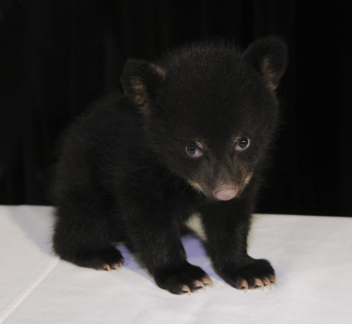 "Baby Bear Diagnosed With Social Anxiety Bear psychologists have diagnosed a local cub with social anxiety disorder after he exhibited extreme shyness around others. ""Sometimes cubbies can be a little awkward around their peers, but most will grow out of it,"" says Dr. Jane Camping.  ""But a bear with social anxiety may have setbacks — he won't be able to eat at the cool kids table, or will be too shy to ask a girl to the Spring Fling dance. So it's good to diagnose that early on."" Via American Museum of Natural History — Baby Animals!"