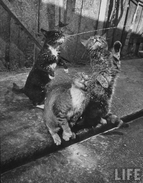 oldtimeycats:  Nat Farbman: Cats Blackie & Brownie catching squirts of milk during milking at Arch Badertscher's dairy farm, 1954. Source: LIFE Photo Archive, hosted by Google.