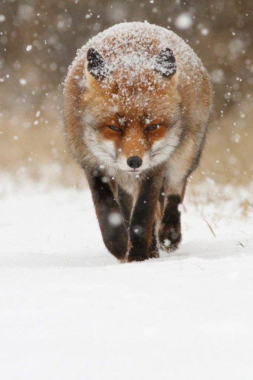 earthly-fauna:  Snow Fox by Roeselien Raimond on 500px